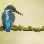 Nature_Talks-petersmoments-ijsvogel-kingfisher-fotoreis-