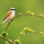 Fotoreis-Nature_talks-grauwe_klauwier-vogels-vogel-petersmoments