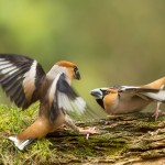 Nature_talks-petersmoments-appelvink-vogel-bird-fotoreis