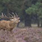 Nature_talks-edel_hert-red_deer-hert-petersmoments-
