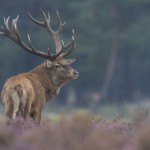Nature_Talks-edelhert-Fotoreis-red_deer-Deer-hert-petersmoments