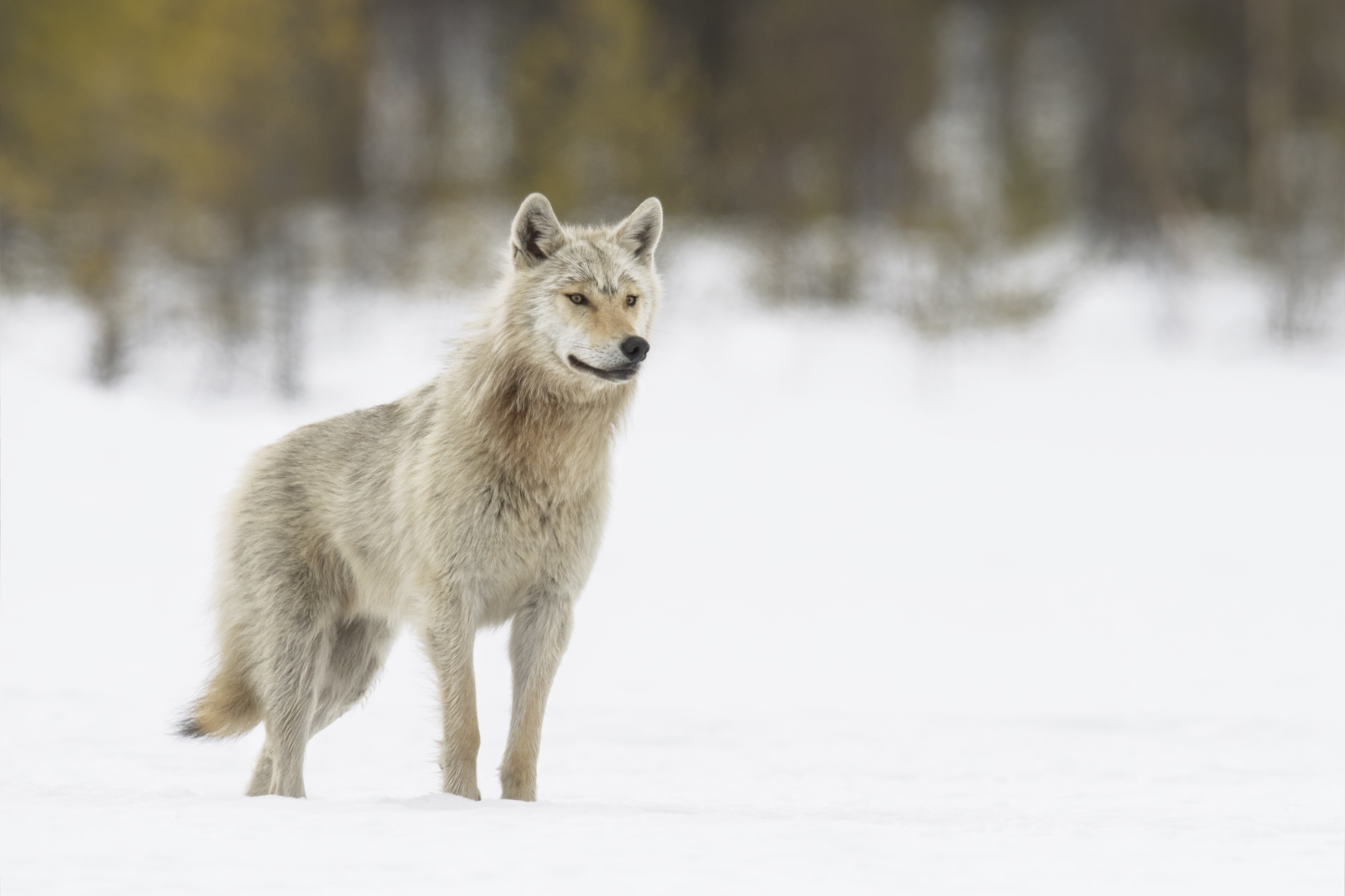 Nature_Talks-fotoreis-Finland-wol-grey_wolf-petersmoments
