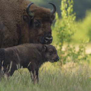 Nature_Talks-fotoreis-wisent-bison-nederland-petersmoments-