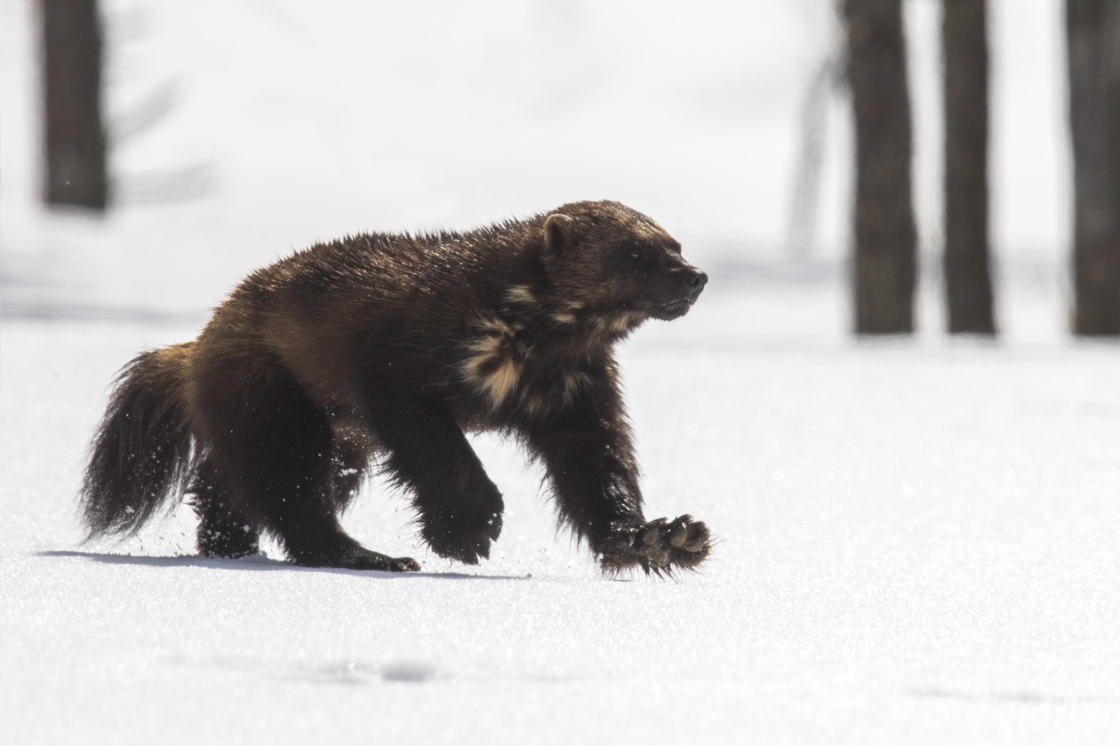Nature_Talks-fotoreis-finland-veelvraat-wolverine-petersmoments