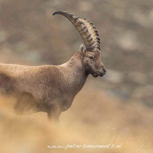 Nature_talks-Fotoreis-steenbok-italie-ibex-petersmoments