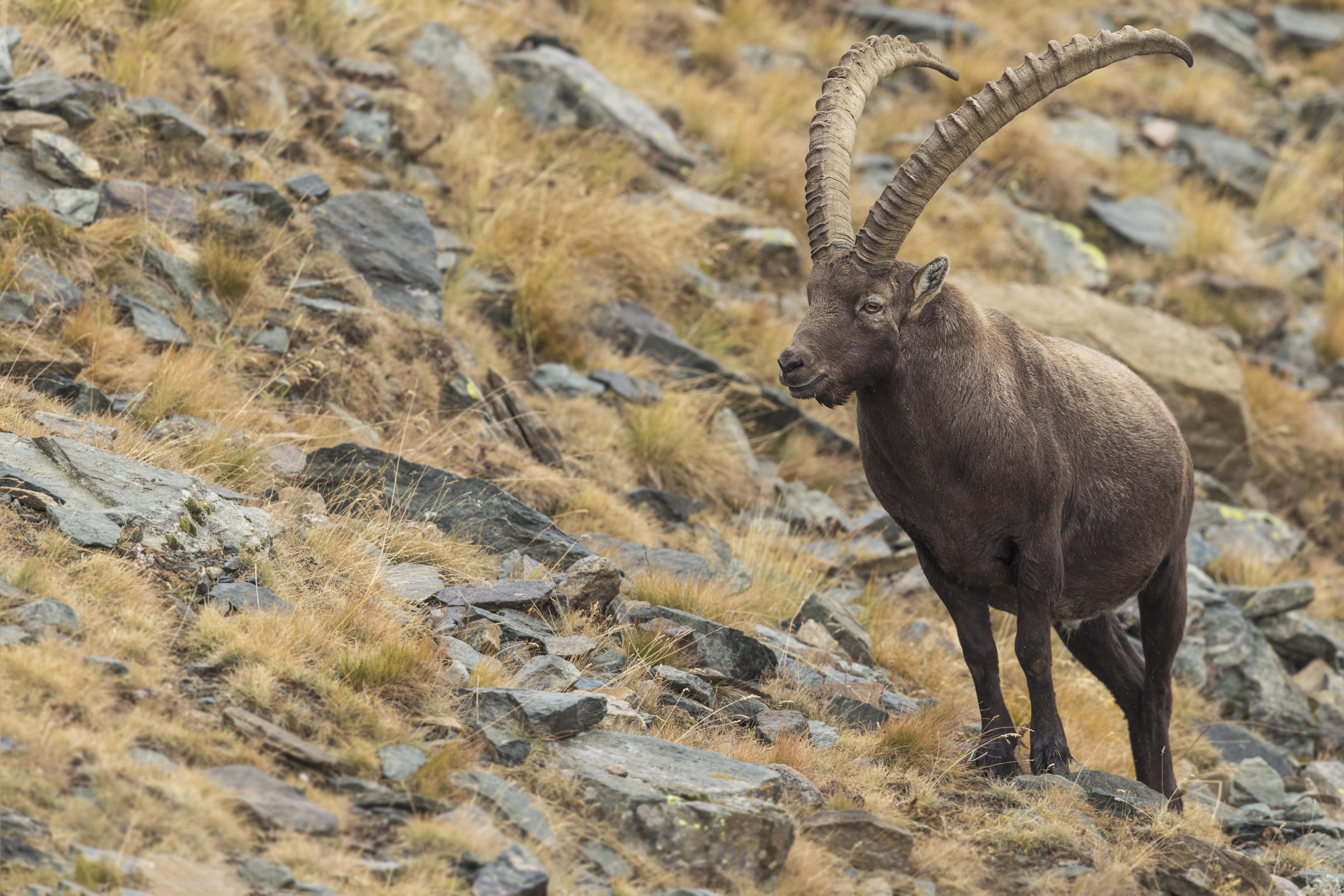 Nature_Talks-fotoreis-italie-steenbok-ibex-petersmoments