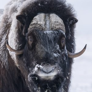 Fotoreis-muskusos-muskox-norway-petersmoments-Nature_Talks