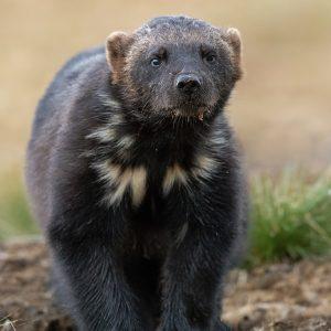 Nature_talks-fotoreis-veelvraat-finland-wolverine-petersmoments