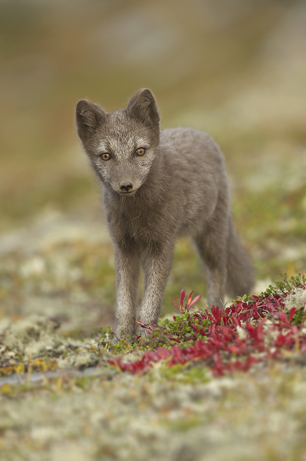 Peter_van_der_Veen-Petersmoments-Arctic_fox-Poolvos