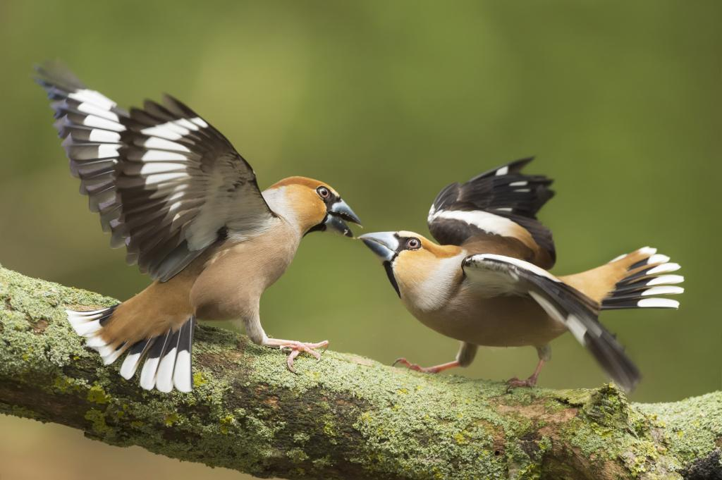 Peter_van_der_Veen-Petersmoments-Appelvink- fight -4_PVV4917