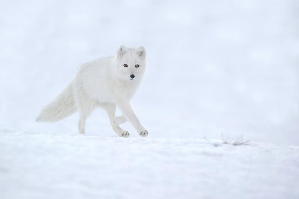 Peter_van_der_Veen-Petersmoments-Arctic_fox- white- winter running
