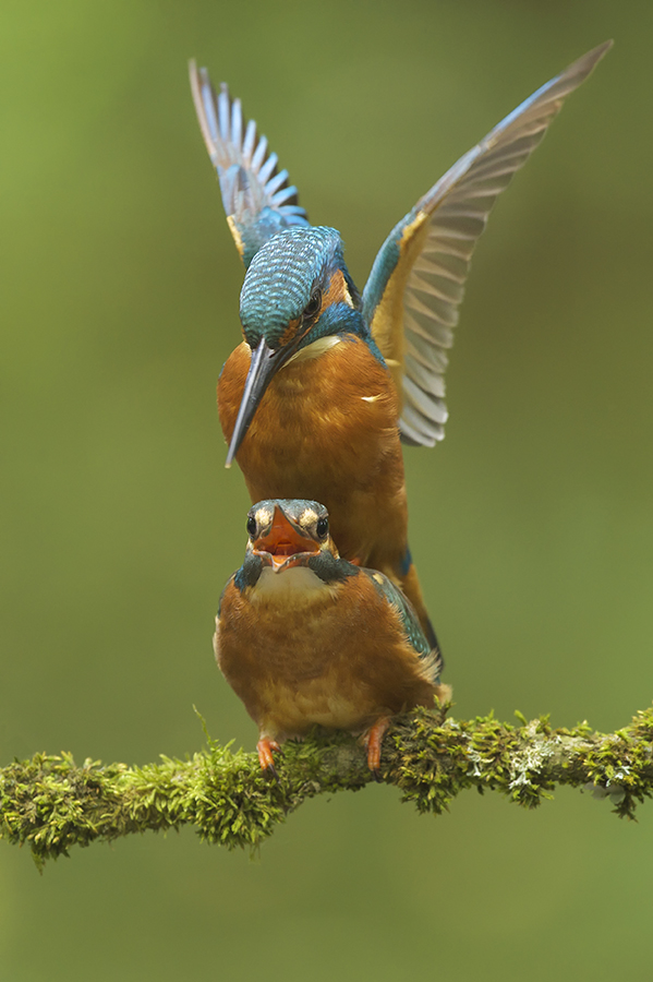 Peter_van_der_Veen-Petersmoments-Kingfisher-Ijsvogel