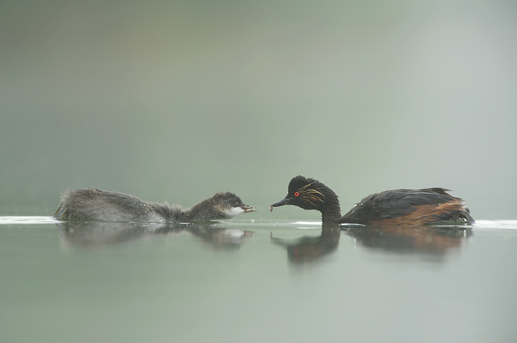 Peter_van_der_Veen-Petersmoments-Black_necked_grebe- Geoorde_fuut