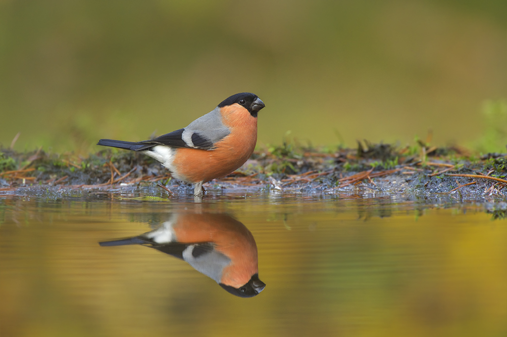 Peter_van_der_Veen-Petersmoments-Bullfinch,-Goudvink