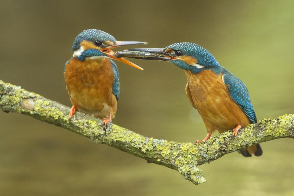 Peter_van_der_Veen-Petersmoments-kingfisher-fish- gift