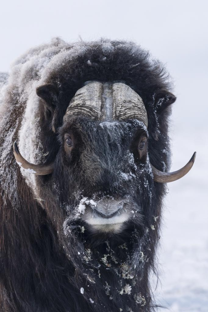 Peter_van_der_Veen-Petersmoments-2019-muskox-DSC0062
