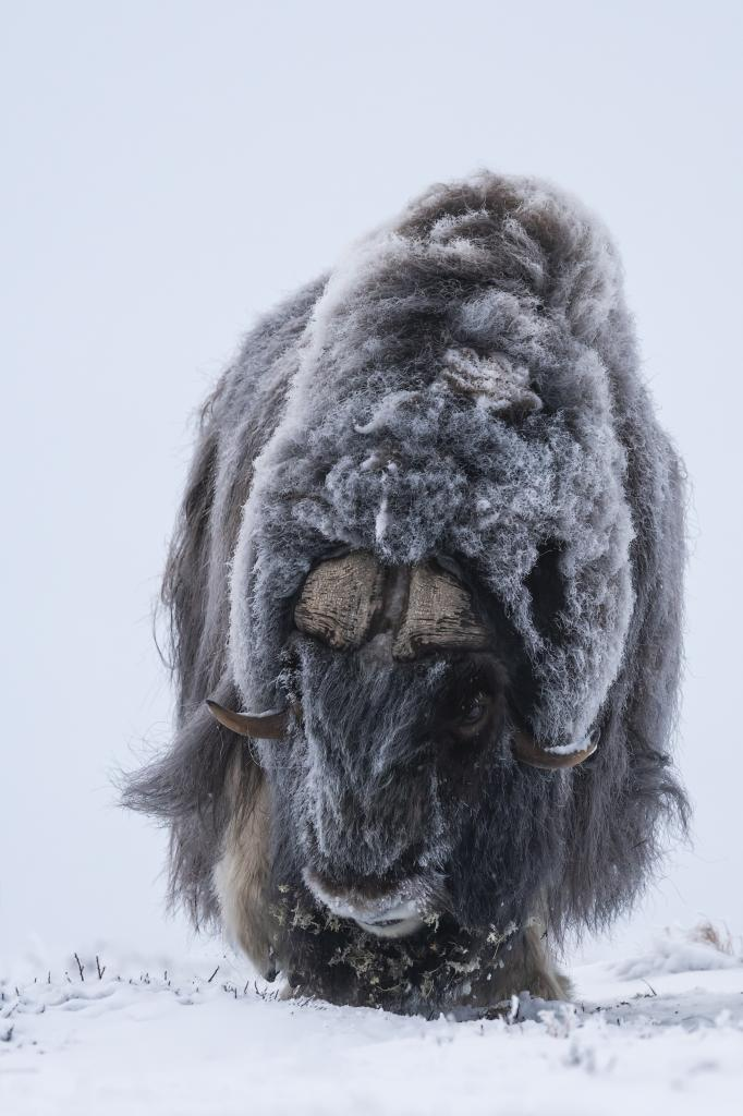 Peter_van_der_Veen-Petersmoments-2019-muskox-DSC7833