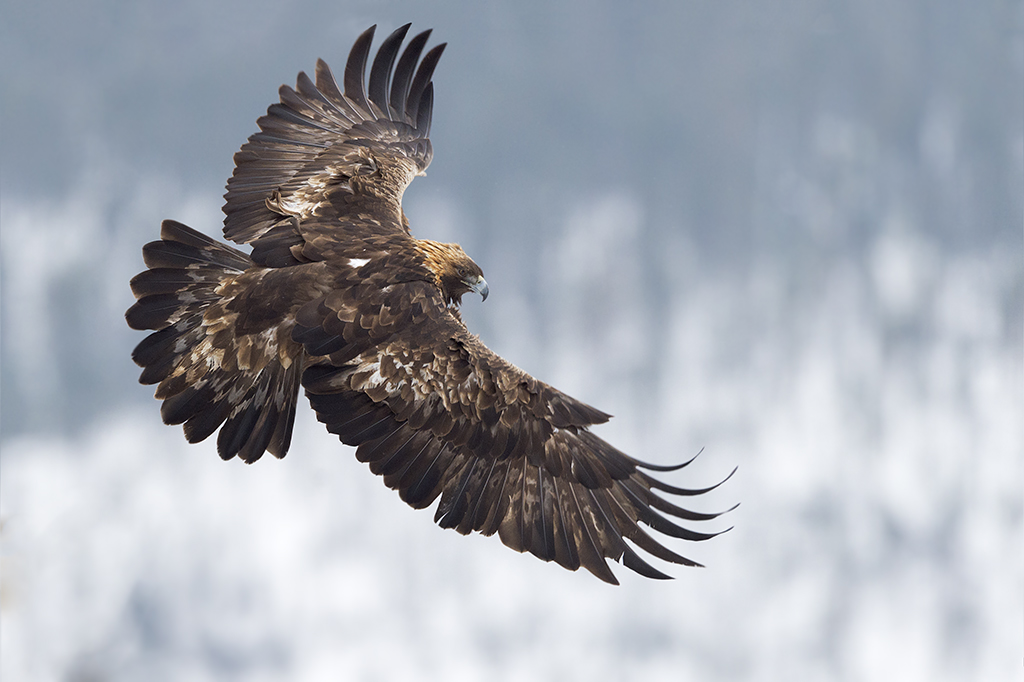 Peter_van_der_Veen-Petersmoments- Golden_Eagel-Steenarend