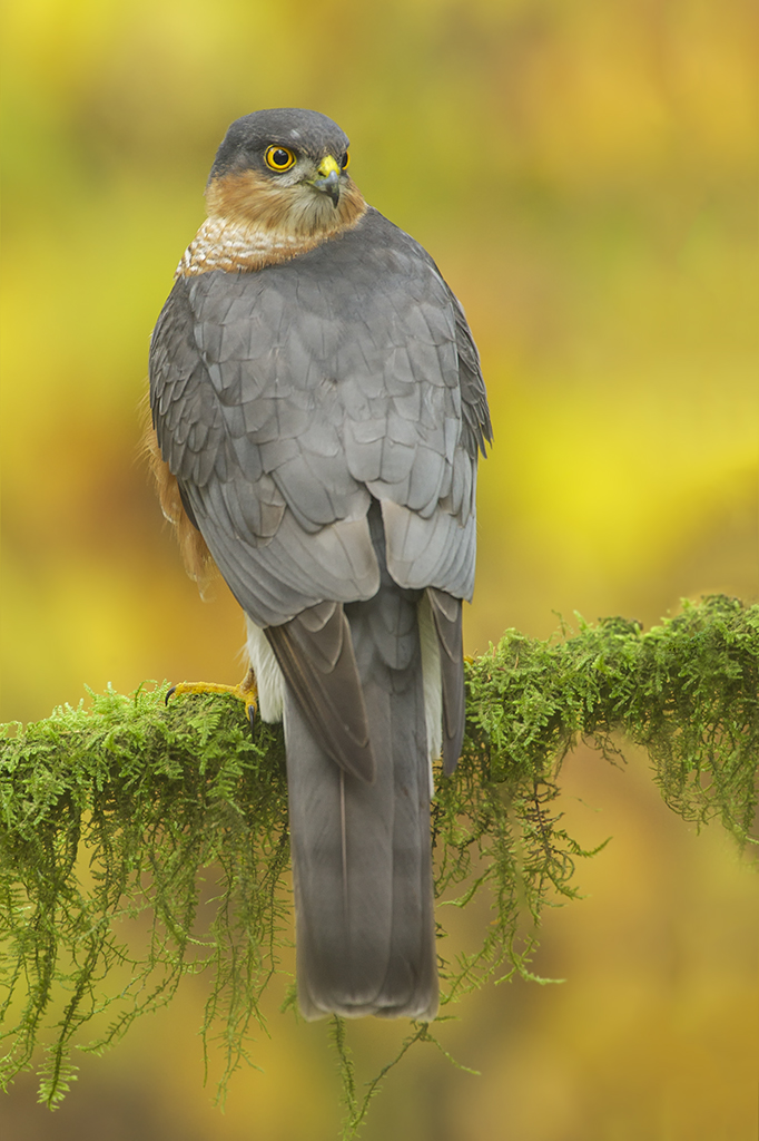 Peter_van_der_Veen-Petersmoments-Sparrowhawk- sperwer