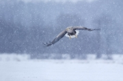 Peter_van_der_Veen-Petersmoments-White_tailed_eagle- fly in snow