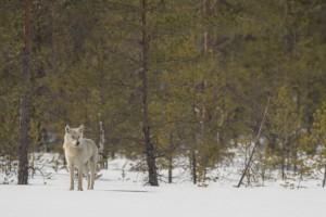 Peter_van_der_Veen-Petersmoments-Nature_talks_foto_festival-Wolf-DSC2474