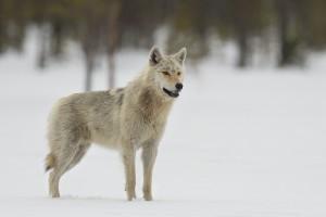 Peter_van_der_Veen-Petersmoments-Nature_talks_foto_festival-Wolf-DSC2743
