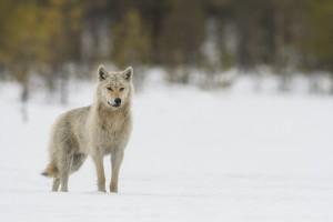 Peter_van_der_Veen-Petersmoments-Wolf-DSC2756