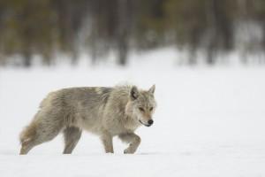 Peter_van_der_Veen-Petersmoments-Nature_talks_foto_festival-Wolf-DSC2769