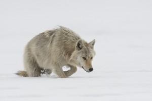 Peter_van_der_Veen-Petersmoments-Nature_talks_foto_festival-Wolf-DSC2804