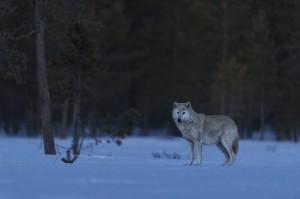 Peter_van_der_Veen-Petersmoments-Nature_talks_foto_festival-Wolf-PVE6746