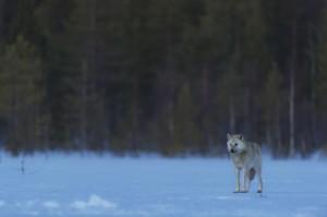 Peter_van_der_Veen-Petersmoments-Nature_talks_foto_festival-Wolf-PVE6769