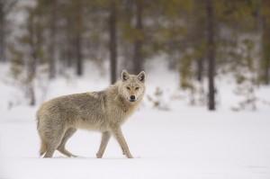 Peter_van_der_Veen-Petersmoments-Nature_talks_foto_festival-Wolf-PVE7285