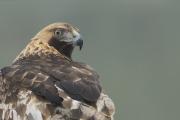 Peter_van_der_Veen-Petersmoments-golden_eagle