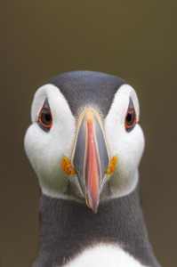 Peter_van_der_Veen-Petersmoments-Nature_talks_foto_festival-2019 puffin_PVV7966