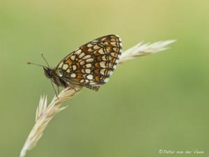 Peter_van_der_Veen-Petersmoments- vlinder