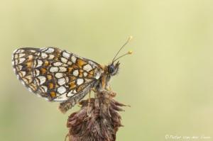 Peter_van_der_Veen-Petersmoments- vlinder1